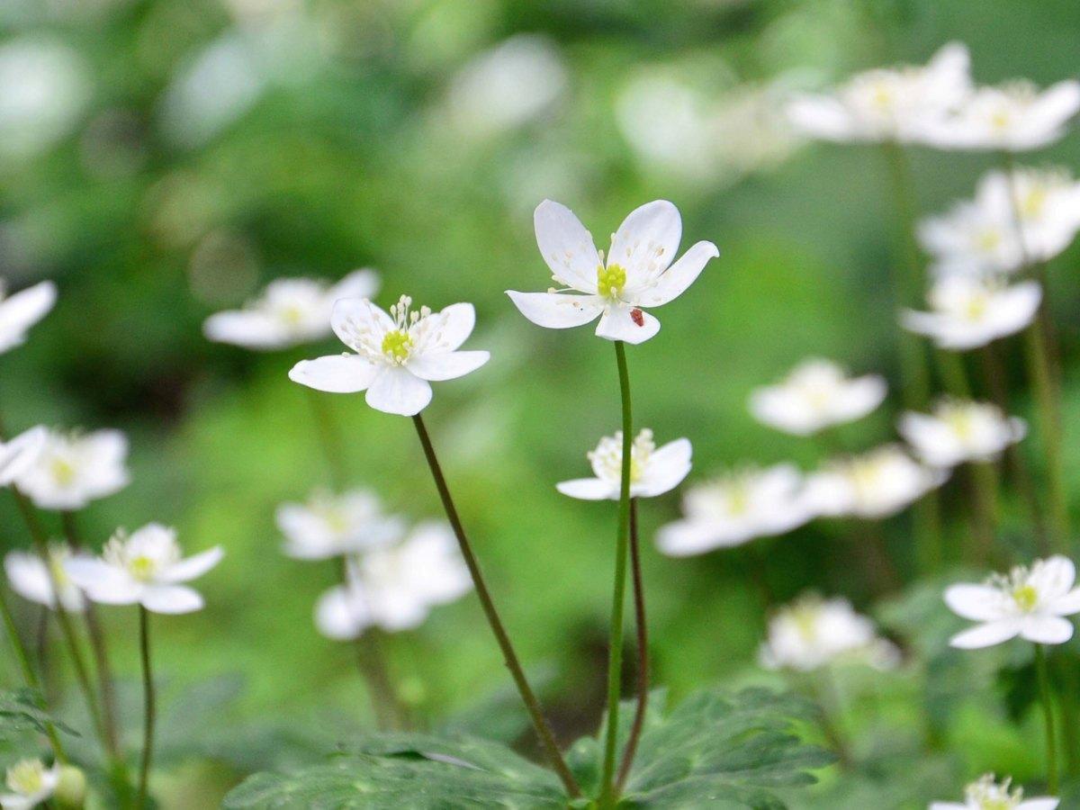 赤塚公園・大門地区の群生地に咲くニリンソウ