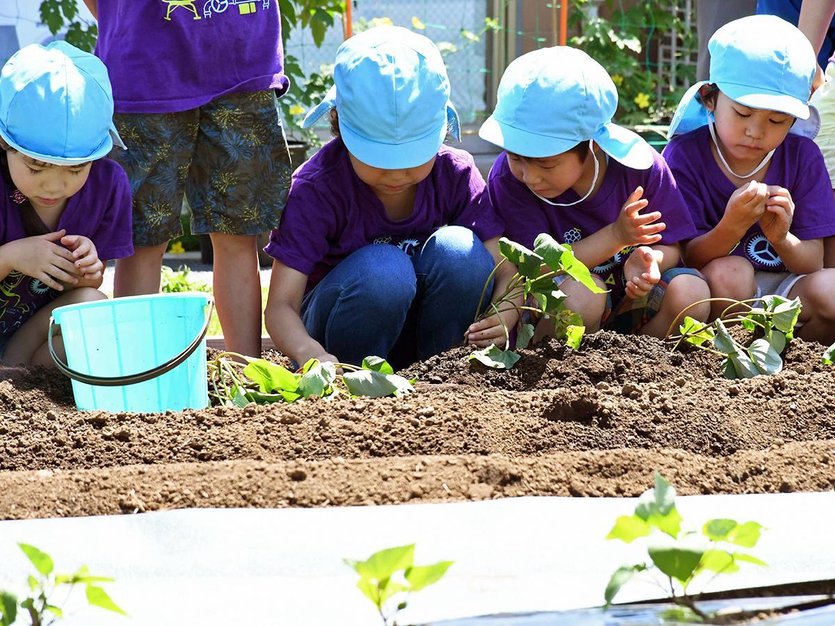保育園で育てた苗を畑に植える園児たち