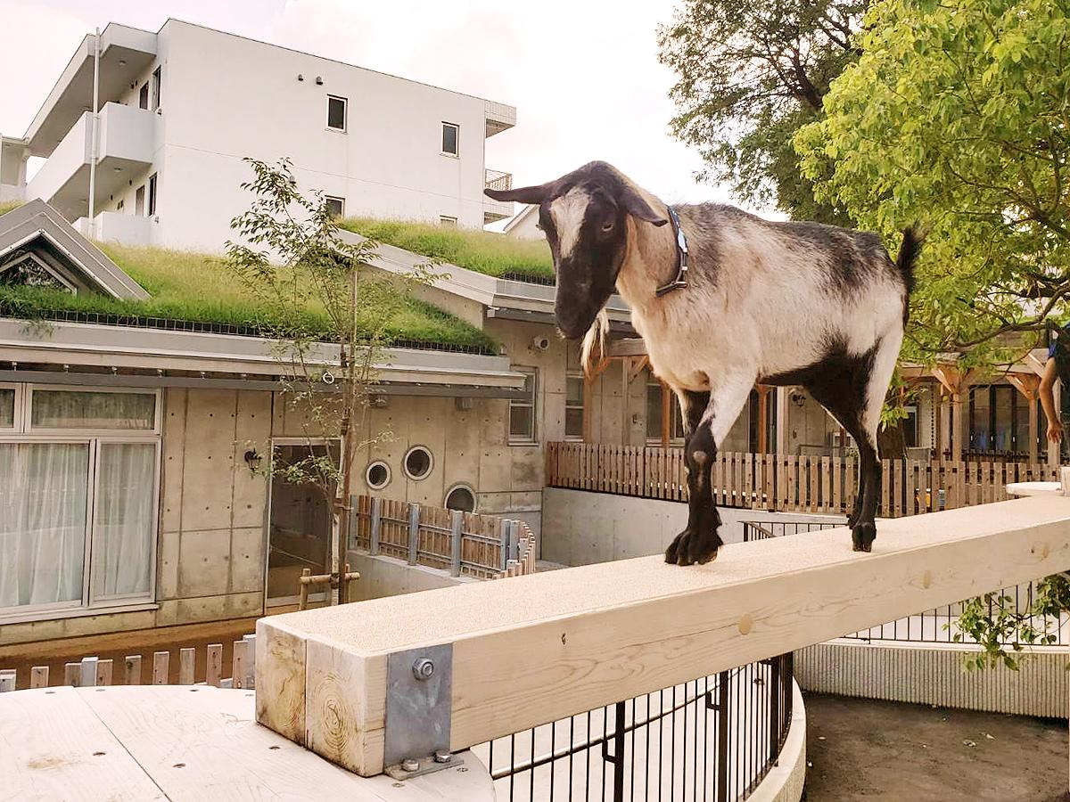 同園の新たな見どころの一つ、草屋根に登る「ヤギの橋わたり」