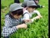 板橋の茶畑で小学生が茶摘み体験 新茶の収穫を楽しむ