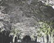 福島県富岡町夜の森桜のトンネル、ライトアップ(2018年4月5日 撮影:伊藤洋佑)