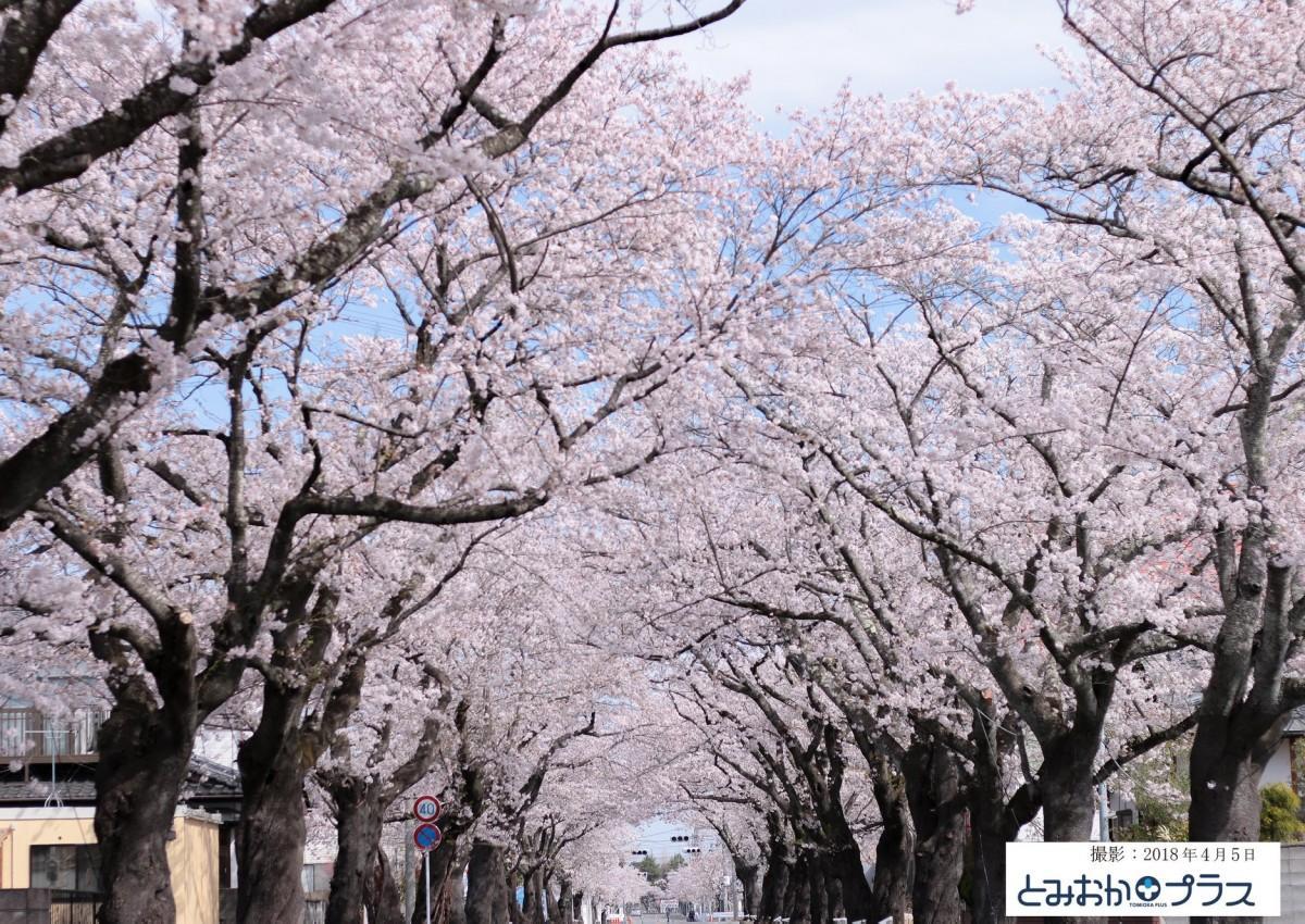 昨年の夜の森の桜並木の様子(提供:とみおかプラス、2018年4月5日撮影)