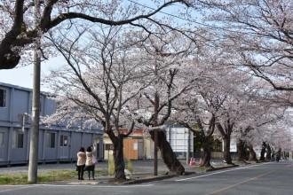 富岡町夜の森の桜が開花宣言 桜まつり前倒し、ライトアップも