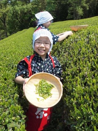 茶摘み体験の風景