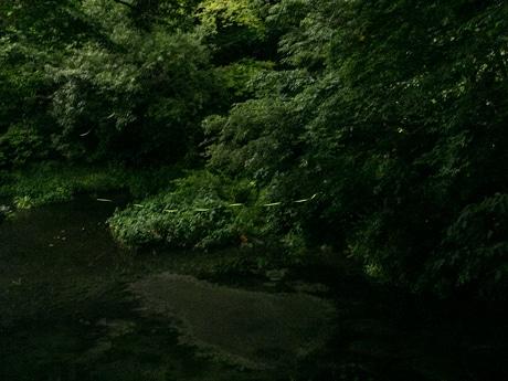 柿田川公園で飛び交うホタルたち