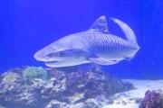 駿河湾でイタチザメが捕獲、展示開始 存命で展示は同館初