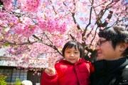 伊豆・河津町のカワヅザクラの原木が満開に 8000本、今週末が見頃