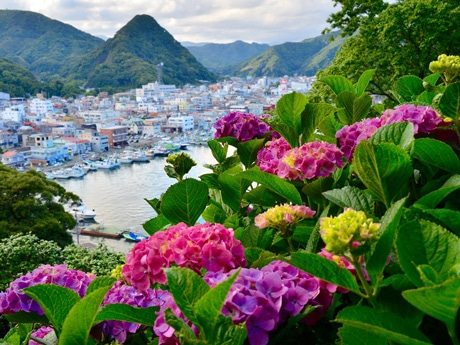 公園から見える色とりどりのアジサイと下田市街(佐藤潤写す)