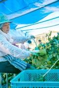 伊豆・松崎町で「桑の葉」収穫 健康ブーム後押しで地域活性化