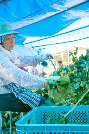桑の葉を収穫し、葉を摘み取るスタッフたち