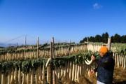 三島の冬の風物詩「大根干し」最盛期 約1万本のたくあん、正月に向けて準備