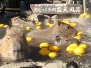 伊豆のカピバラも「ゆず湯」で温まる 冬至にちなんでカピバラもうっとり