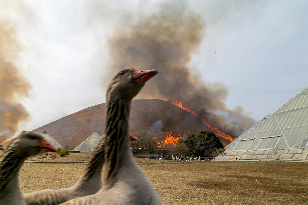 山焼きの炎に驚き、園内を走り回る鳥類たち
