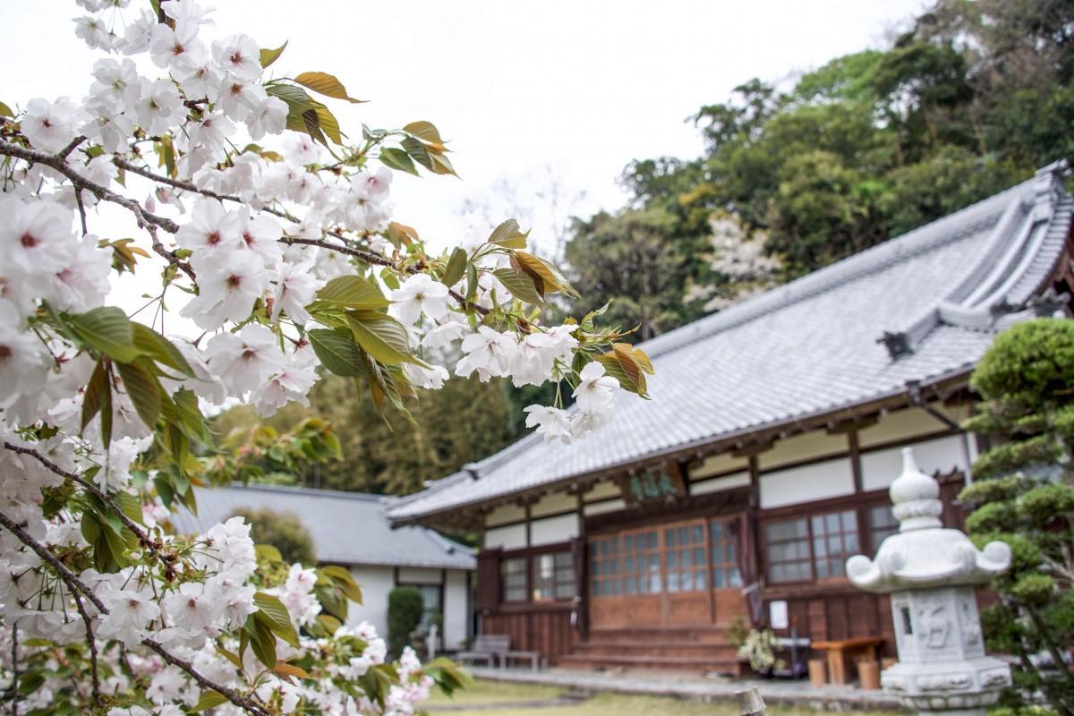 最福寺の「しだれ桜」(勝呂拓哉さん提供)