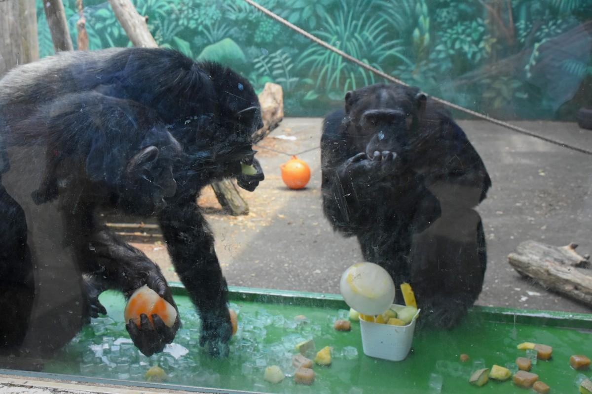 氷に群がるチンパンジーたち
