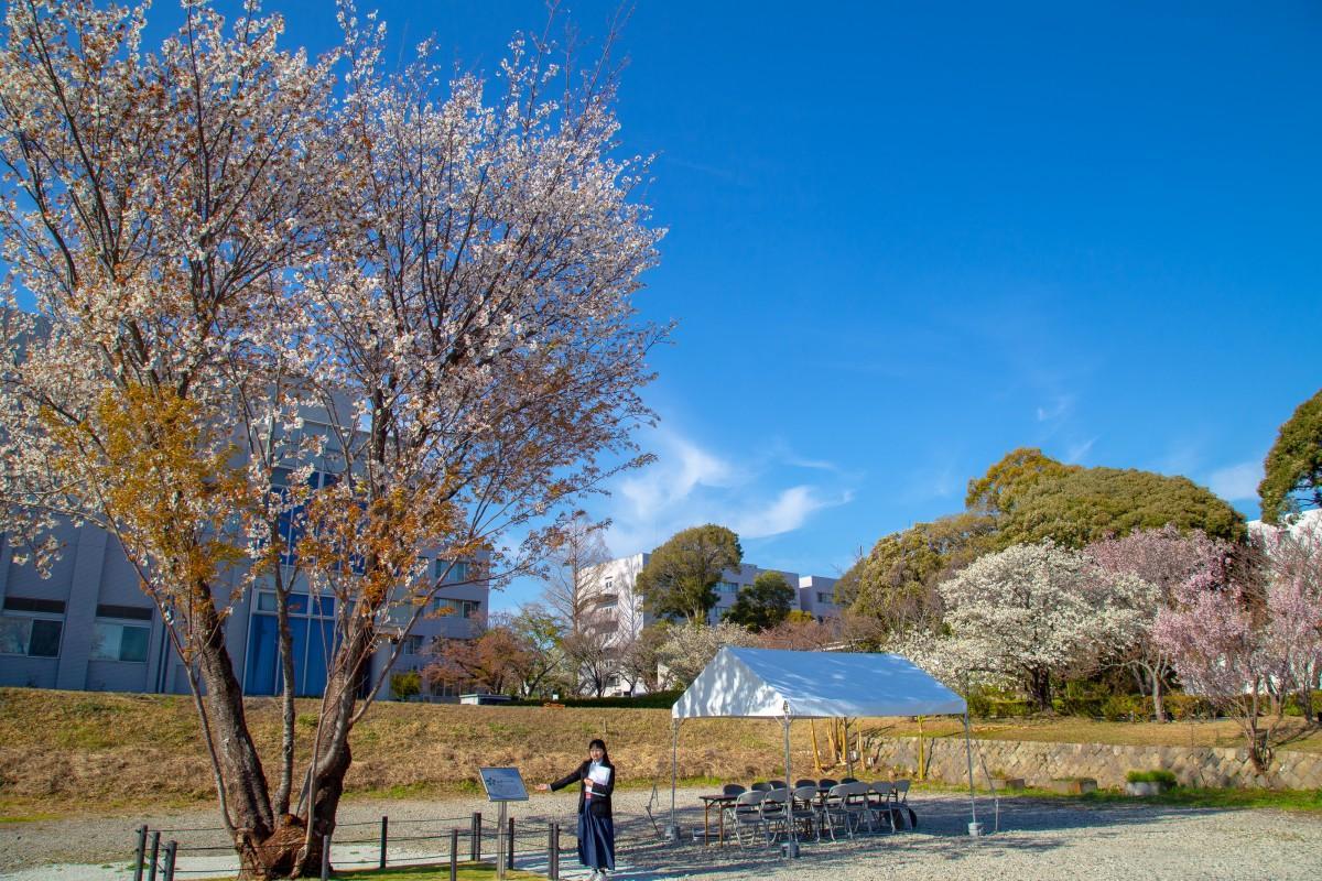 新しく命名した「半兵衛白紅桜」を紹介する清水さん