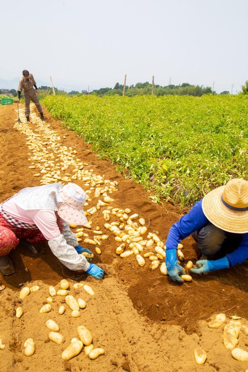 手掘りで収穫する三島馬鈴薯