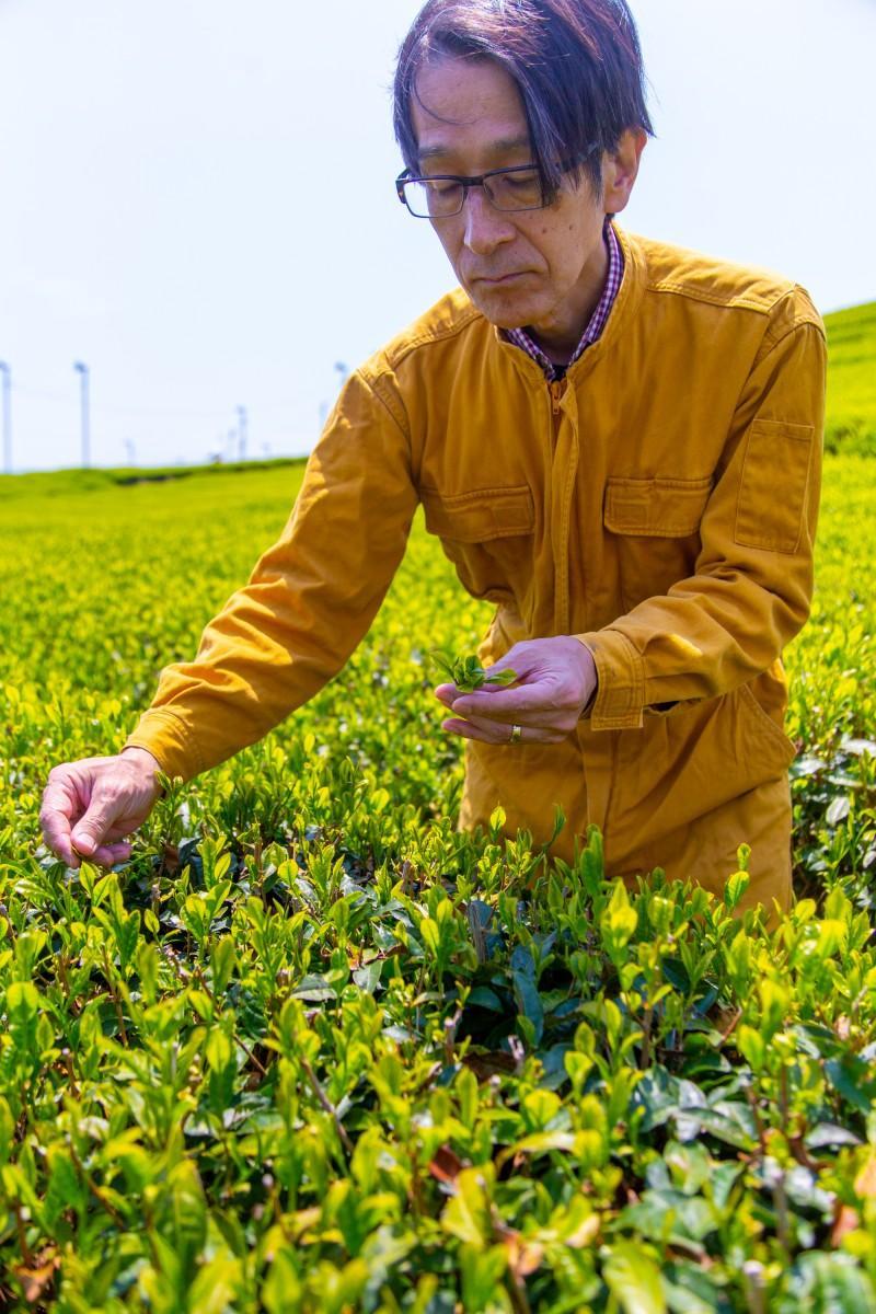青々しい茶葉を精査する三須さん