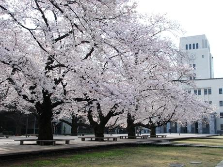 東工大大岡山キャンパスのメインストリート、本館前の桜並木(写真は昨年の様子)