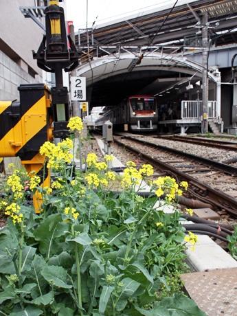 東急大井町線自由が丘駅踏切付近に咲いた菜の花