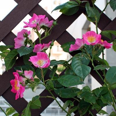 自由が丘「ローズガーデン」に植えられた原種バラ。花弁が大きく広がるように咲くことから、ミツバチが花にとまりやすいという
