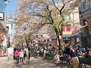 自由が丘南口「さくらまつり」 桜並木沿道で野だてや茨城ご当地グルメなど