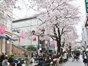 自由が丘南口「桜まつり」 桜並木沿道で野だてや地元グルメなど
