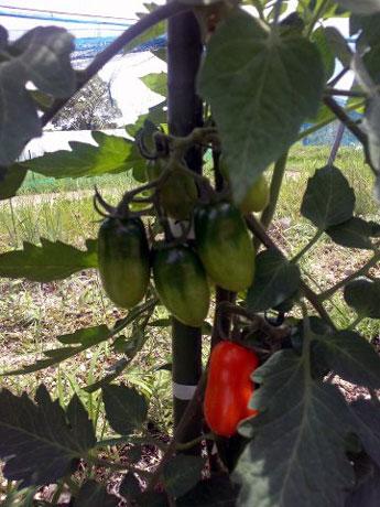 色付き始めたトマト「サンマルツァーノ」収穫の時期はもう少し先か