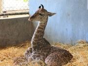 鹿児島・平川動物園で「春の動物公園まつり」 ヒツジの毛刈りなど