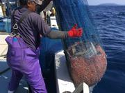 鹿児島下甑島「タカエビ」の水揚げ最盛期 鮮魚での流通少ない貴重なエビ