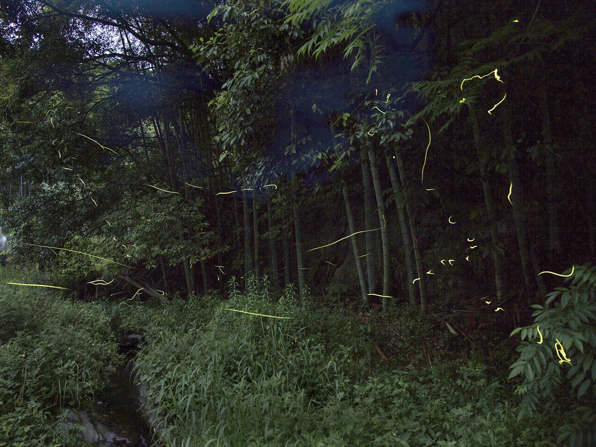 かごしま健康の森公園で撮られた「ホタル」