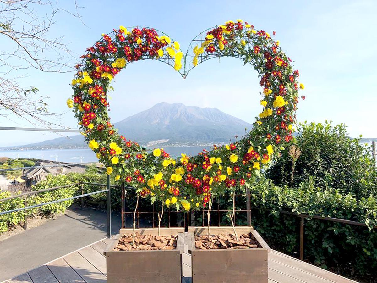 仙巌園から見える桜島と菊が競演