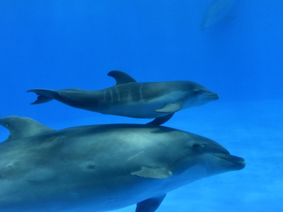 誕生した雌の赤ちゃんイルカと母テンテン