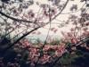 桜島で「さくら祭り」初開催へ 活火山の島の「食と農」の魅力に触れる