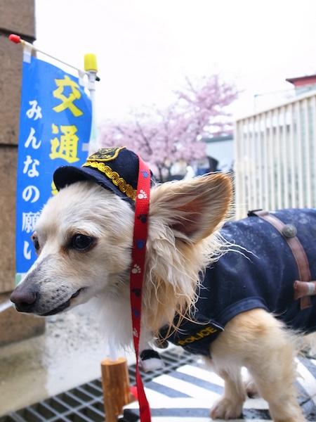 加古川の小学校入学式に交通安全啓発犬「ラビ」 制服姿で新1年生出迎え