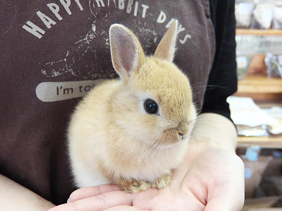 飼育中の子ウサギ(ネザーランドドワーフ)