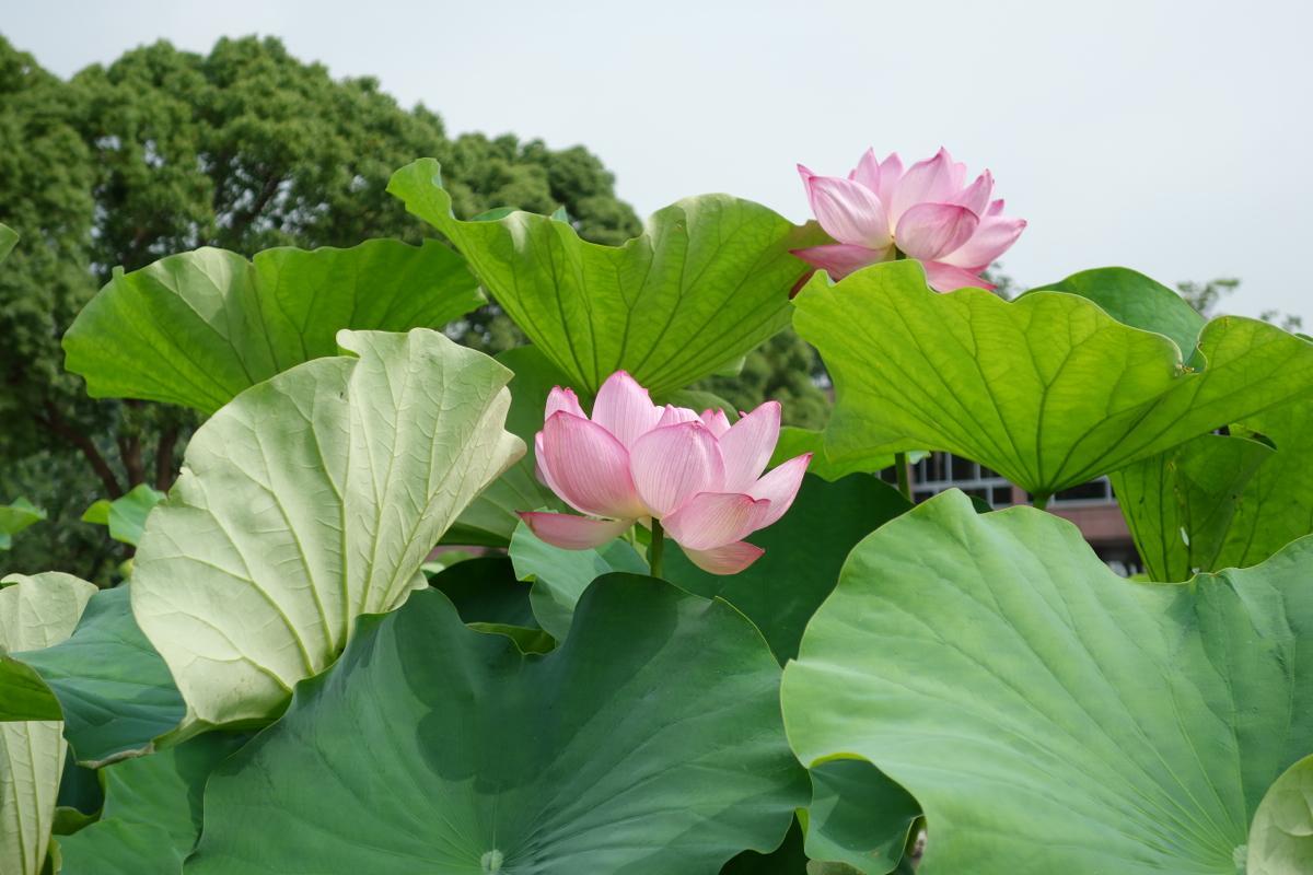 ハス・スイレン池では60種類以上のハスの花が楽しめる(写真:同センター提供)