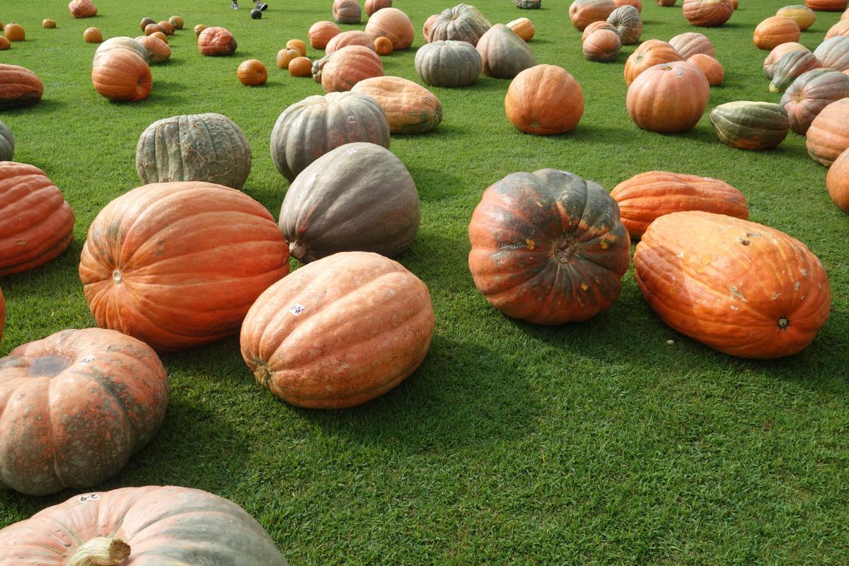 期間中は芝生広場がおばけカボチャでいっぱいに。最大70キロのジャンボサイズも