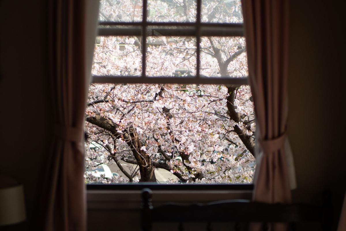 昨年の満開時の「さくら」の間の窓。普段は見える横須賀線の電車も花びらの向こう