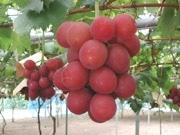 石川県、ブドウ新品種「ルビーロマン」のサポーターを募集