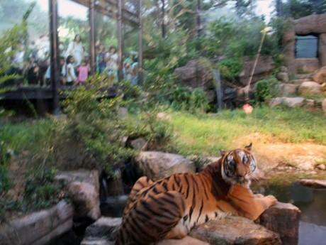 大勢の来園客が見守る中で行われたトラの「食事タイム」