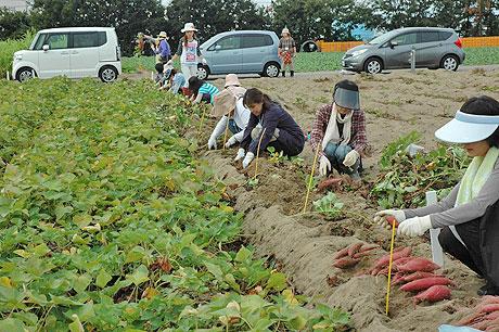 10月に行われた五郎島金時収穫体験の様子