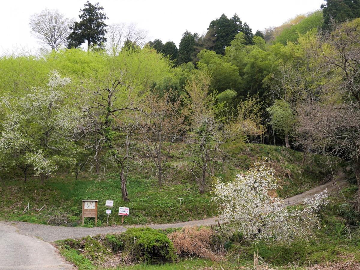 「平町・千本桜の里」の様子