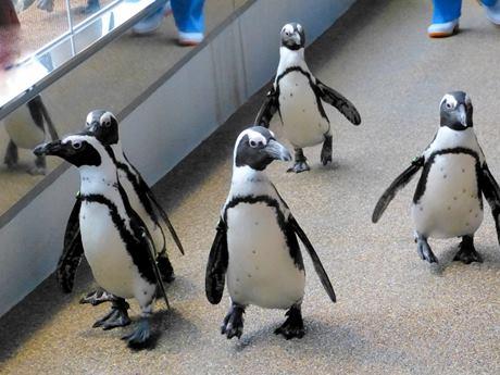 3月21日に始まる「ペンギンペタペタタイム」のイメージ