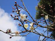 菅原道真生誕の伝承地「菅大臣神社」で白梅が開花 京都の立春は青空