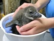 お兄ちゃん一筋なペンギン「からす」がパパに 生後17日、順調に生育