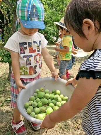 梅の実を収獲する子どもたち