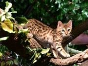 「京都ひょう猫の森」で触れ合えるベンガルネコ