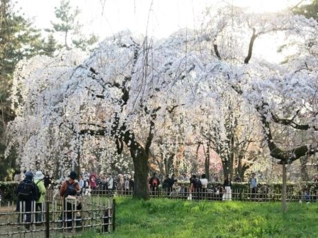 満開になり見ごろを迎えた京都御苑のイトザクラ
