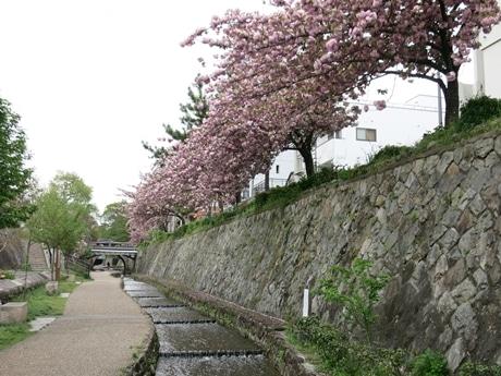 八重桜の並木が続く堀川中立売付近(北向き)